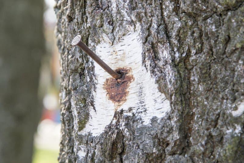 Ржавый ноготь на стволе дерева для предпосылки концепции стоковые фотографии rf