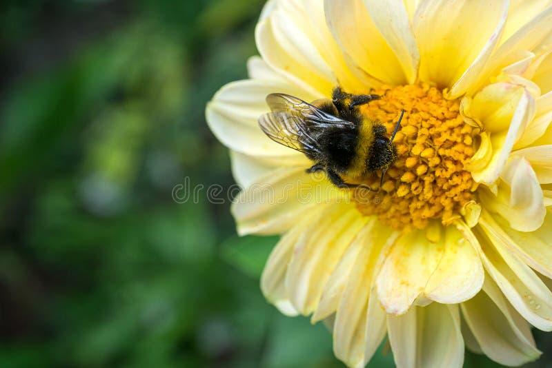 Ржав-залатанный шмель собирая нектар от желтого цветка стоковые фото