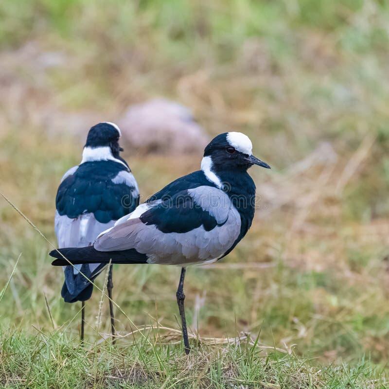 Ржанка кузнеца, африканские птицы стоковое фото