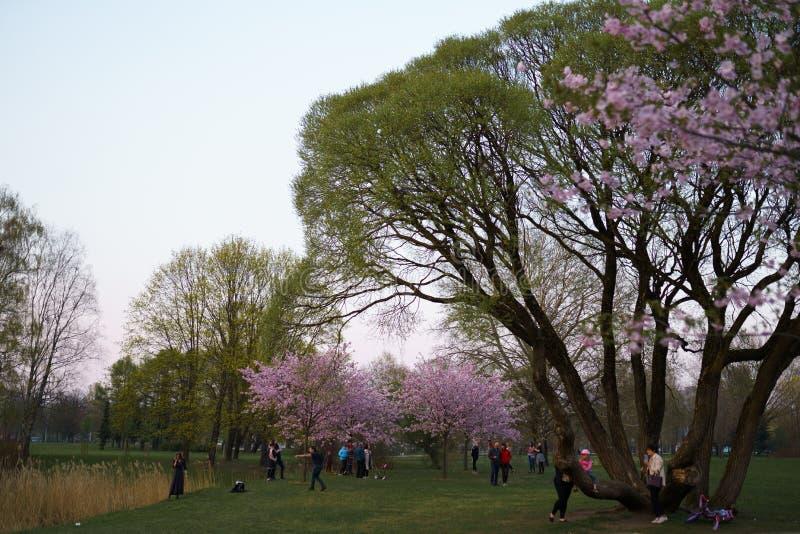 РИГА, ЛАТВИЯ - 24-ОЕ АПРЕЛЯ 2019: Люди в парке победы наслаждаясь вишневым цветом Сакуры - каналом города с летанием чайок стоковое изображение rf