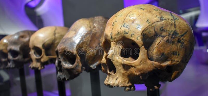 """Римские черепа разделяют """"славы и бодают """"выставку, музей Лондона стоковые фотографии rf"""