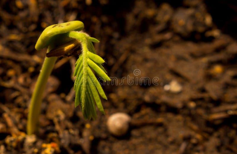 Ринв саженца бобовые растущий свое семя с космосом для текста стоковое изображение rf