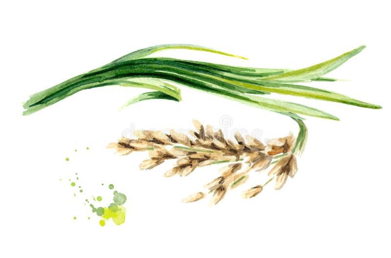 Рисовая посадка Иллюстрация акварели нарисованная рукой, изолированная на белой предпосылке бесплатная иллюстрация