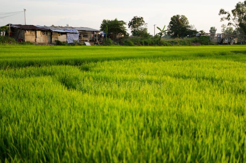 Рисовая посадка в поле риса стоковое изображение
