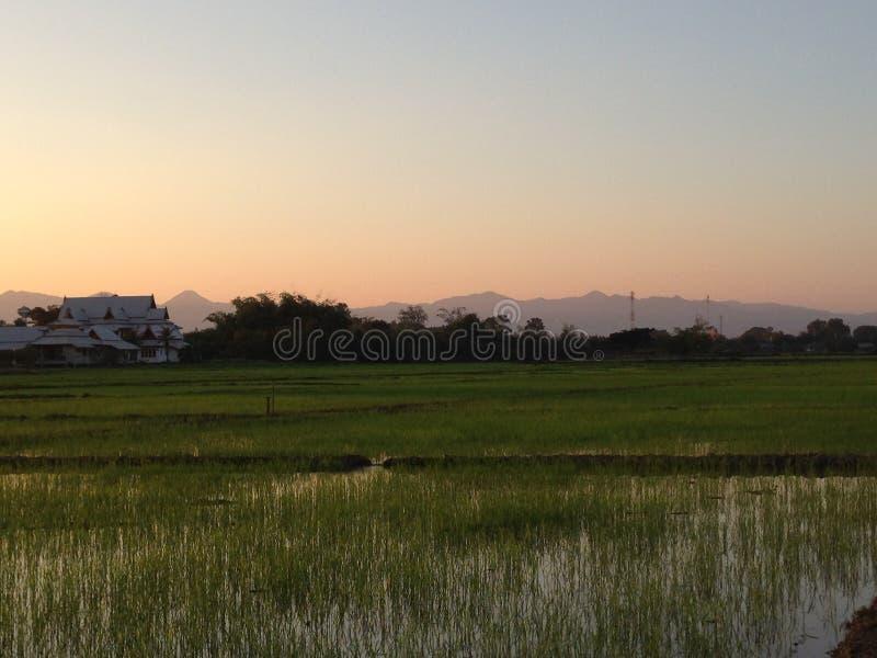 Рисовая посадка захода солнца вечера на рисовых полях нивы в Таиланде -го декабре #035 стоковые изображения rf