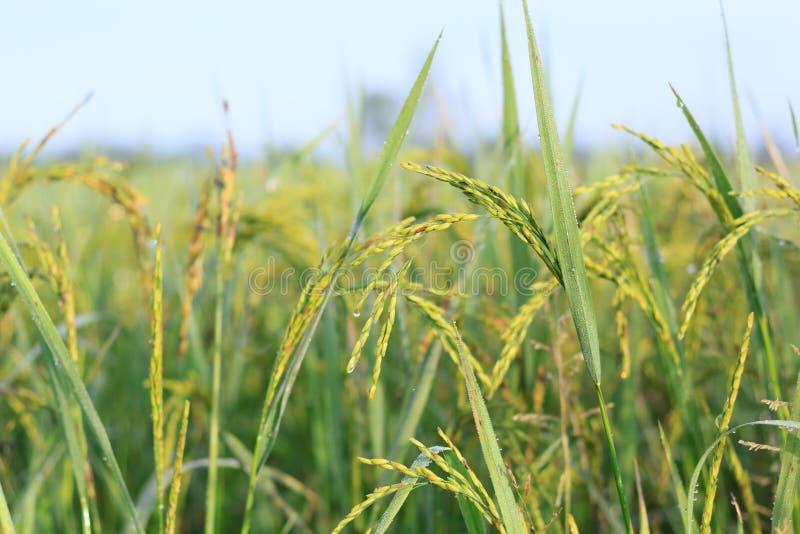 Download Рисовая посадка стоковое фото. изображение насчитывающей туман - 41660344