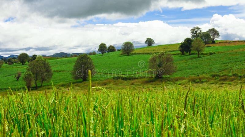 Рисовые поля и зеленый холм стоковое фото