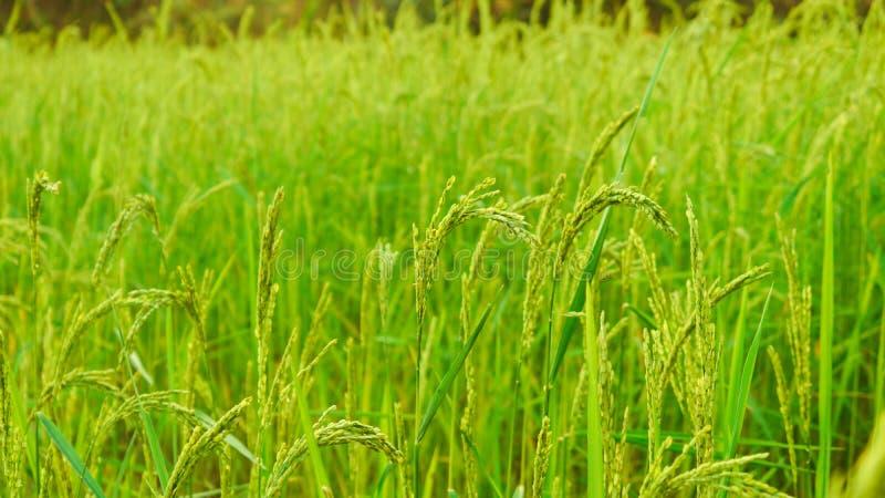 Рисовые поля от Kalaw стоковое фото rf