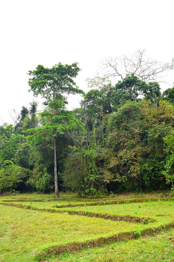Рисовые поля с деревьями и растительность на острове Baratang, Andaman Nicobar, Индии стоковое изображение rf