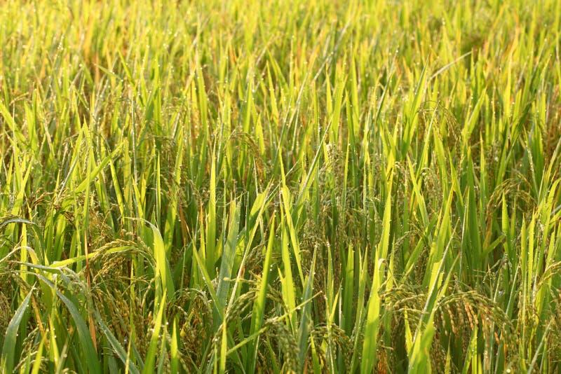 Рисовые поля - шаги зеленые и желтые на высоких горных участках стоковая фотография rf