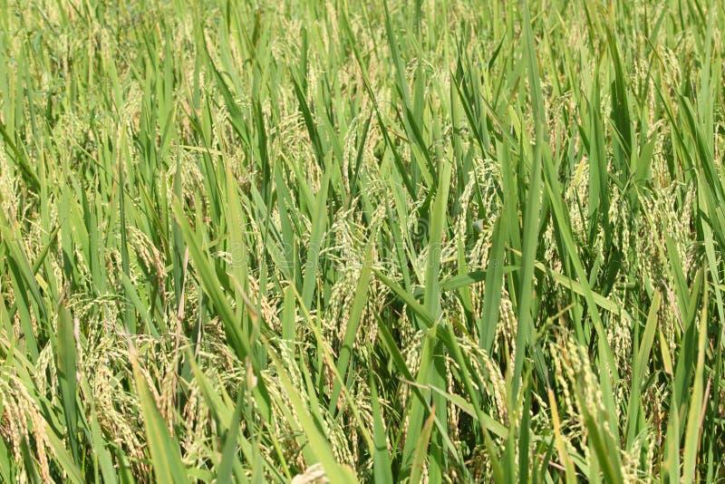Рисовые поля - шаги зеленые и желтые на высоких горных участках стоковое фото
