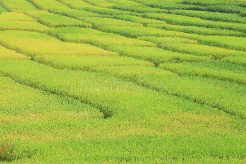 Рисовые поля - шаги зеленые и желтые на высоких горных участках стоковое изображение rf