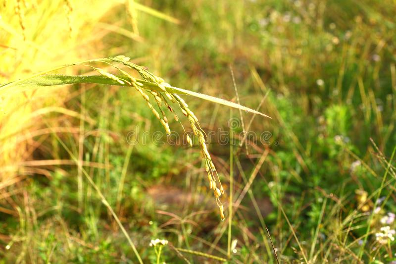 Рисовые поля - шаги зеленые и желтые на высоких горных участках стоковая фотография