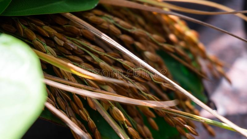 Рисовые поля штабелированные вверх с листьями на фестивале Индии сбора стоковая фотография rf