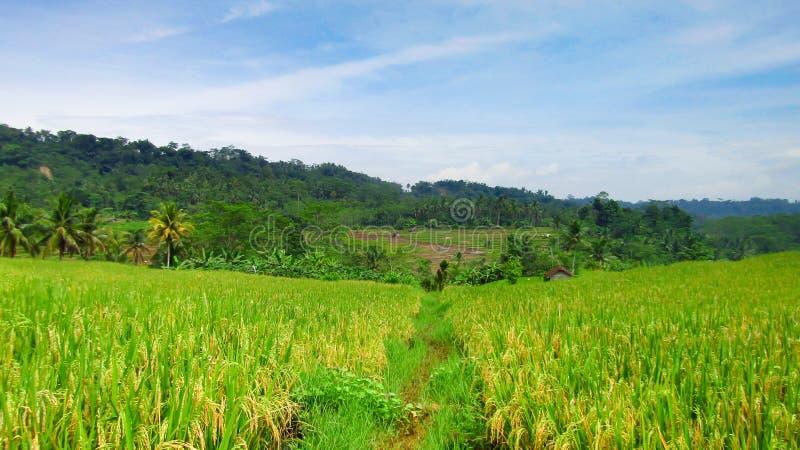 Рисовые поля которые начинают пожелтеть рис, скоро готовые в сборе стоковое изображение rf