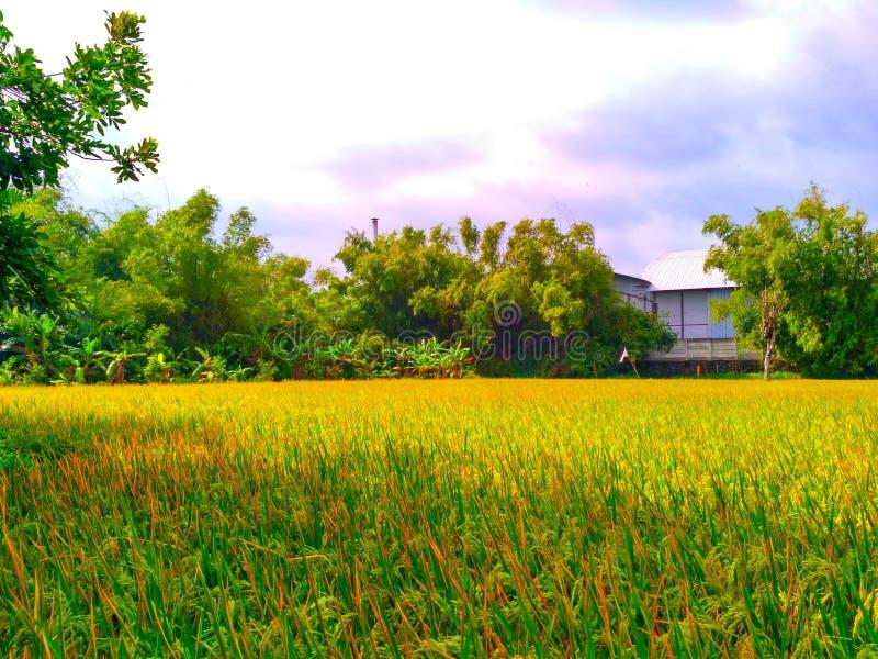 Рисовые поля около фабрики стоковая фотография