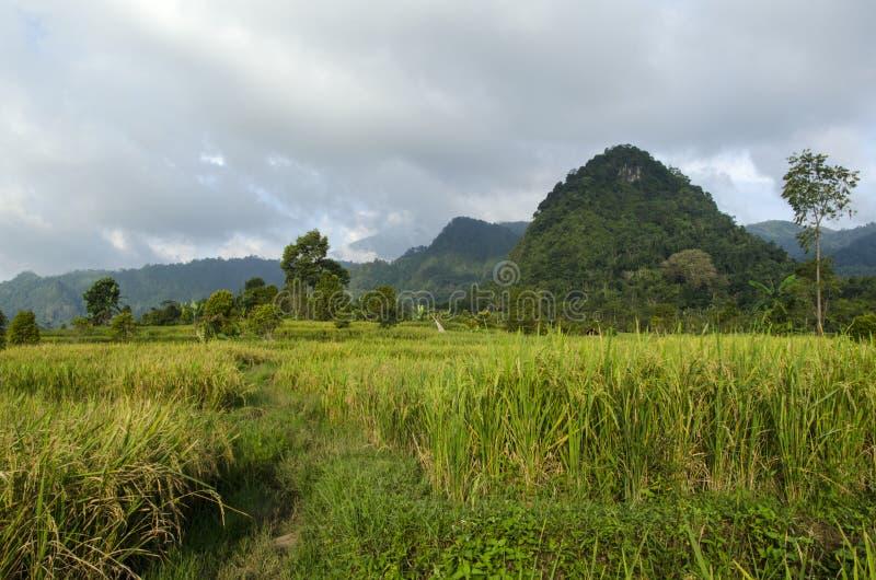 Рисовые поля стоковое фото