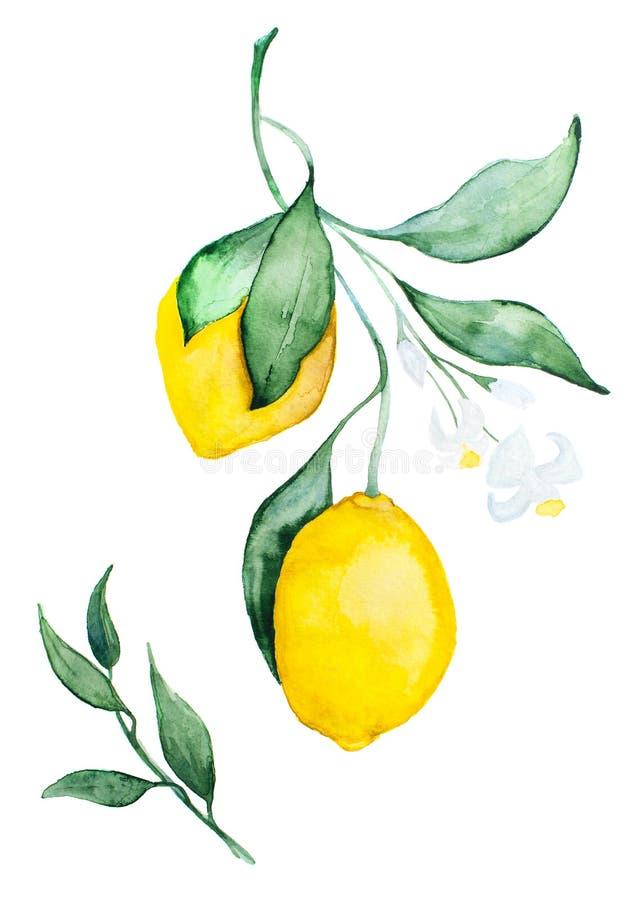 Рисуя лимон акварели на белой предпосылке стоковые фотографии rf