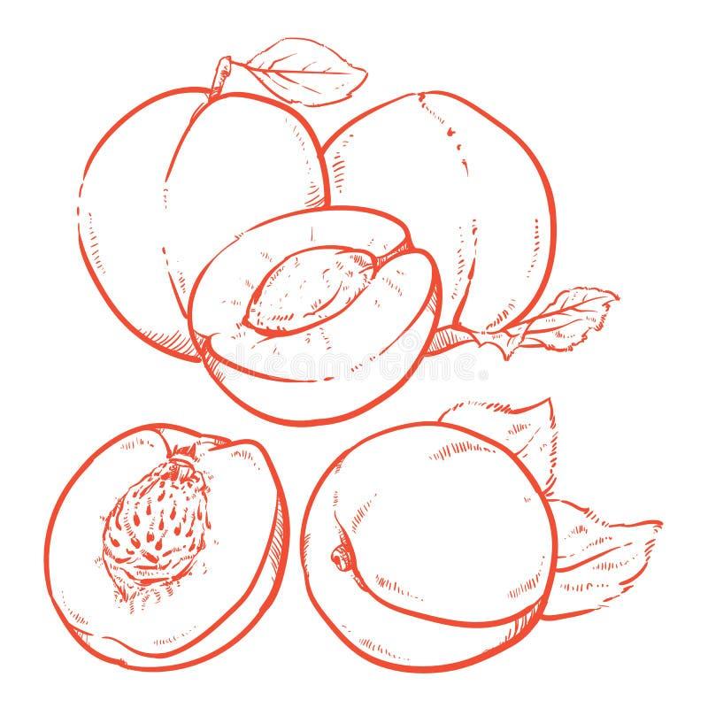 Рисуя сладостные абрикосы с листьями на белой предпосылке свежий горох иллюстрация штока