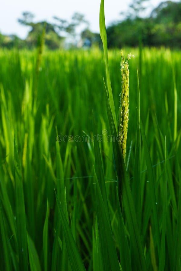 Рис в поле стоковая фотография rf