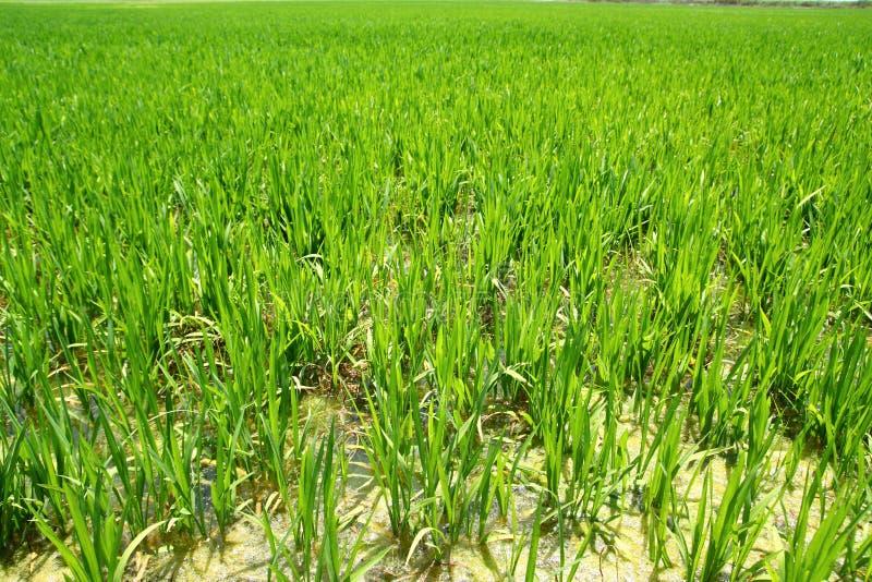 фото выращивание риса в испании новым годом