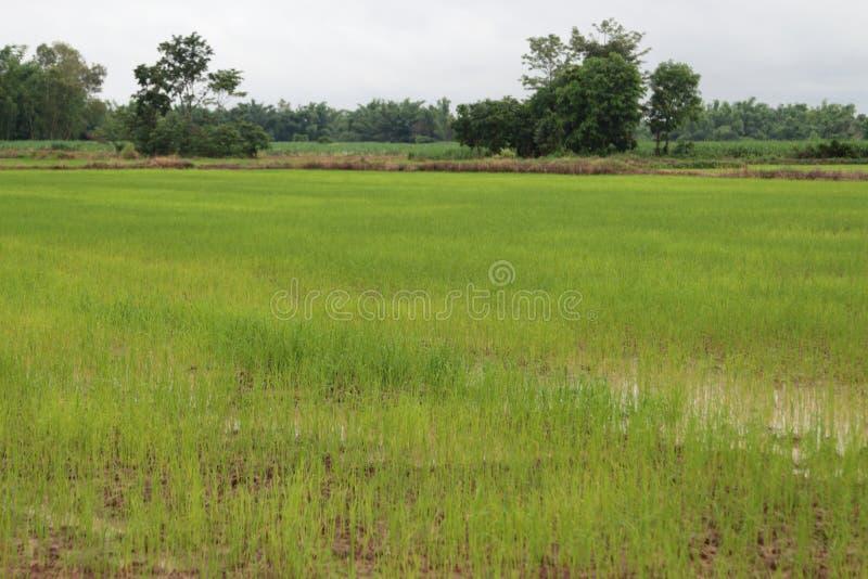 Рис новорожденного имеет зеленые листья стоковое фото rf