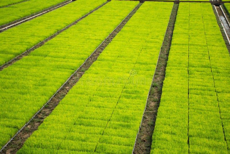 Рис осеменяя cultivest поле стоковые фото