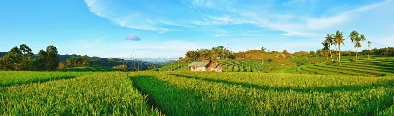 рис панорамы падиа стоковое фото rf