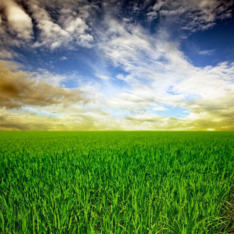 рис поля стоковая фотография rf