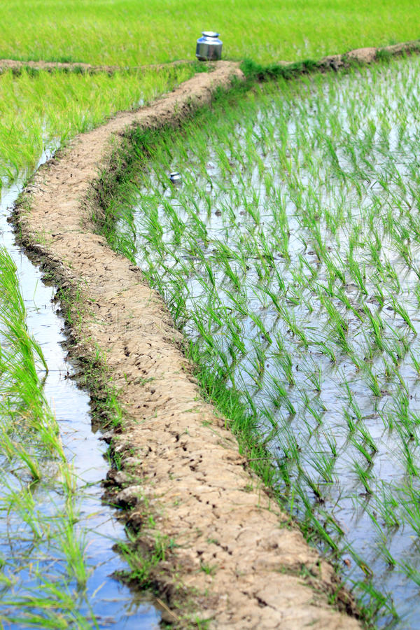Download рис поля стоковое фото. изображение насчитывающей рис - 17623546
