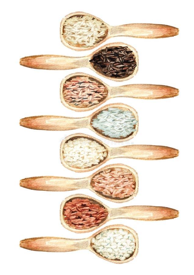 Рис различных разнообразий в деревянных установленных ложках Взгляд сверху Иллюстрация акварели нарисованная рукой, изолированная бесплатная иллюстрация