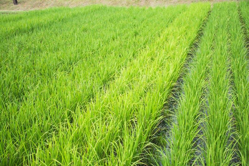 Рис растет в поле стоковые фото