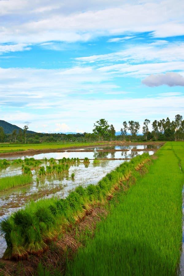 Download рис Таиланд поля стоковое фото. изображение насчитывающей небо - 18380436