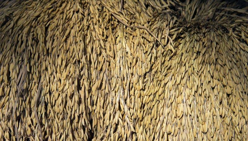 Рис Таиланда (шип) стоковые изображения