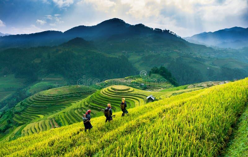 Рис террас fields на горе в северозападе Вьетнама стоковые изображения rf