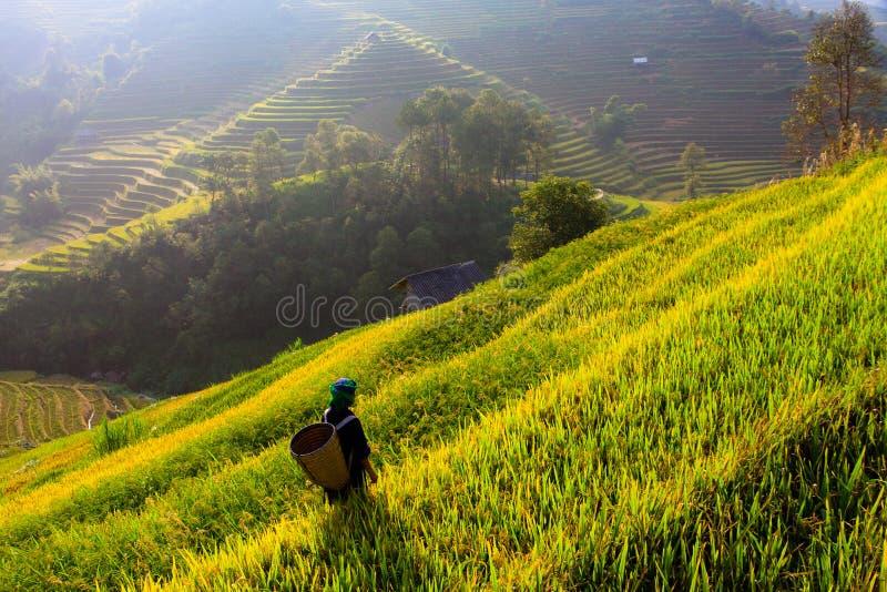 Рис террас fields на горе в северозападе Вьетнама стоковые фотографии rf