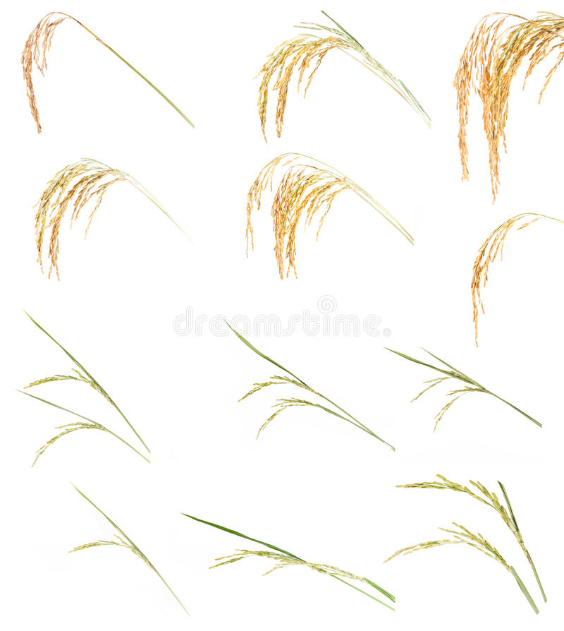 рис уха собрания иллюстрация штока