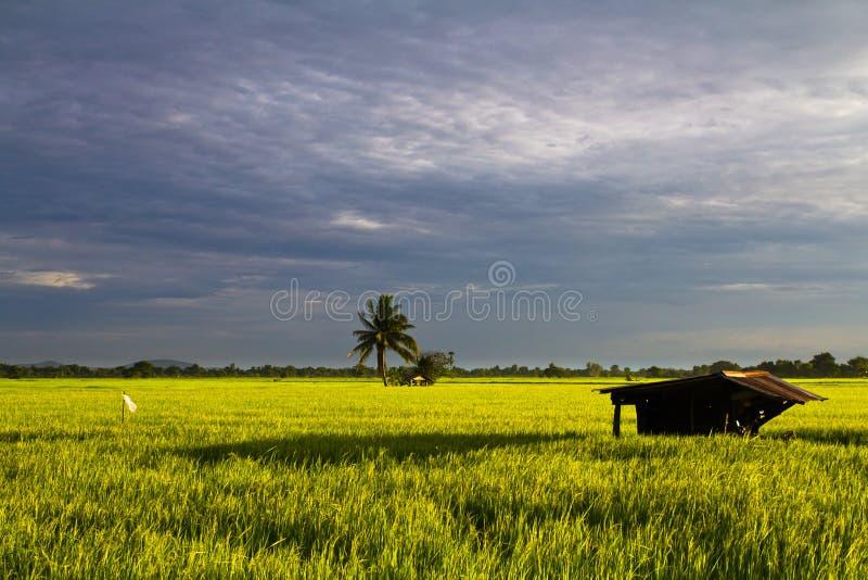 рис хаты поля стоковая фотография rf