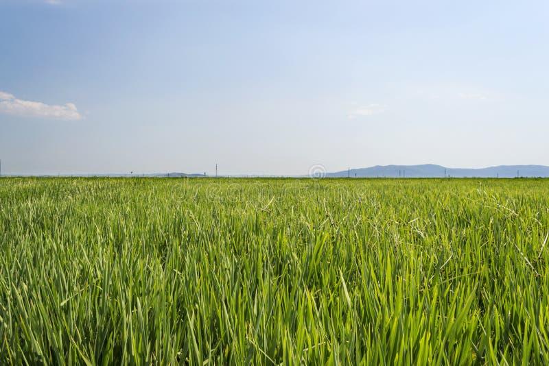 Download Рис стоковое фото. изображение насчитывающей трава, зерно - 33738272