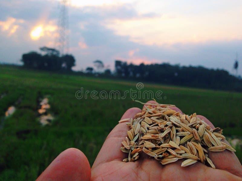 Рис стоковые фотографии rf