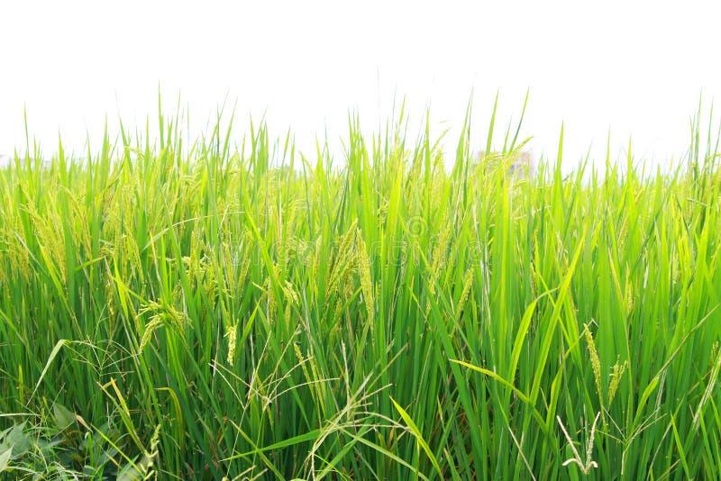 Download рис стоковое фото. изображение насчитывающей еда, рис - 6860134