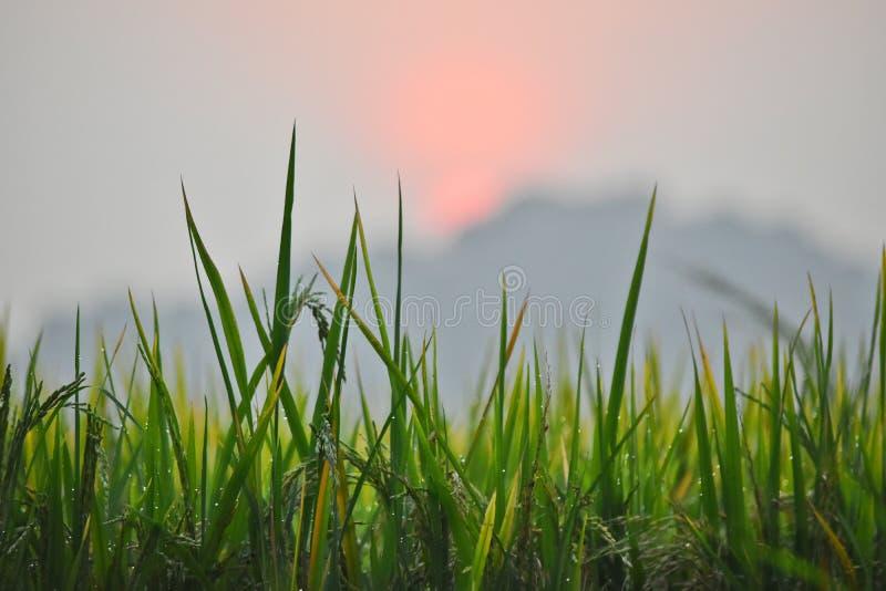 Рис fields на зоре стоковое изображение