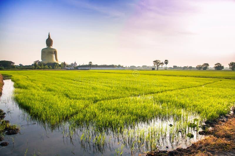 Рис fields позади большого золотого Будды стоковые фотографии rf