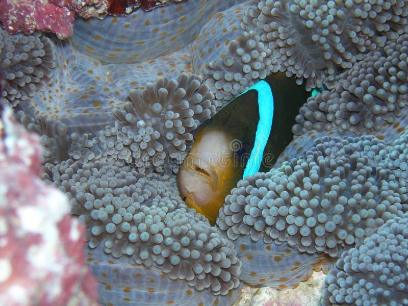 риф барьера anemonefish стоковое изображение rf