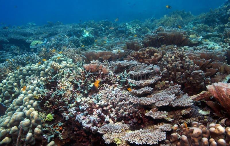 Download риф индонезийца коралла стоковое фото. изображение насчитывающей северно - 6868554