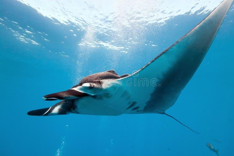 риф manta стоковые фото
