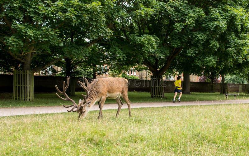 Ричмонд, Лондон, Великобритания - июль 2017: Красные олени подавая на траве я стоковое фото
