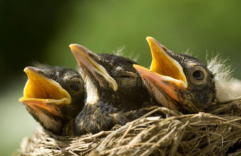 робины гнездя младенца стоковая фотография
