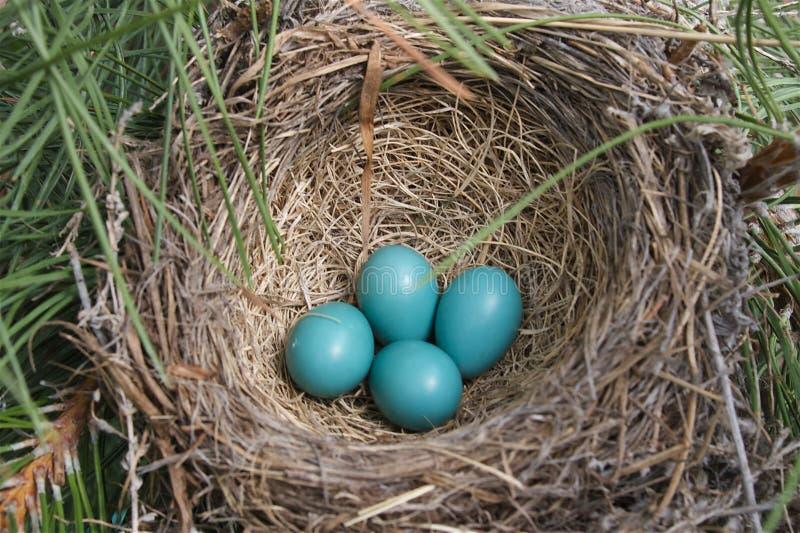 робин гнездя яичек стоковая фотография