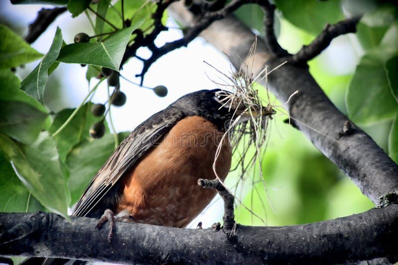 Робин на ветви дерева стоковое изображение
